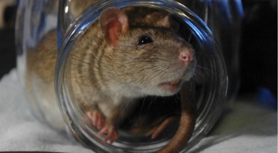 Accusés à tort pendant des siècles: les rats ne sont pas responsables de la Peste Noire