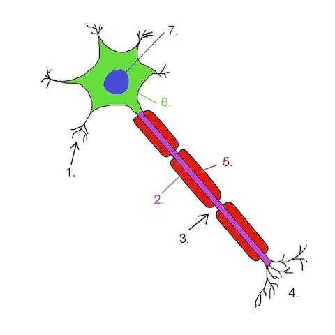 Surprenante découverte sur l'origine du système nerveux parasympathique