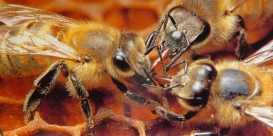 Pesticides: Les abeilles forcées à butiner trop jeunes, provoqueraient le déclin des ruches