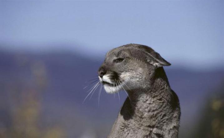 les cougar lyss