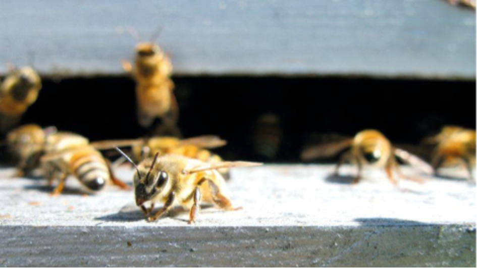 Des abeilles jouent le rôle de démineurs