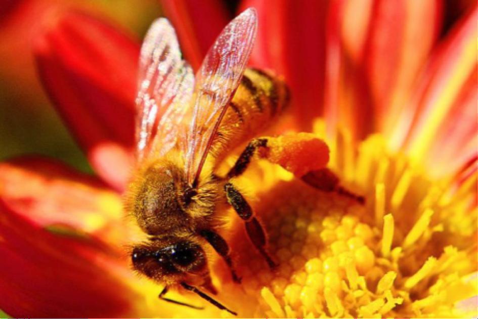 Les abeilles addictes aux pesticides