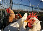 La FDA admet finalement que la viande de poulet contient de l'arsenic !