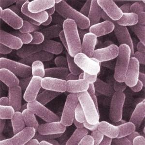 ba8f8f2954_lactobacillus-tractus