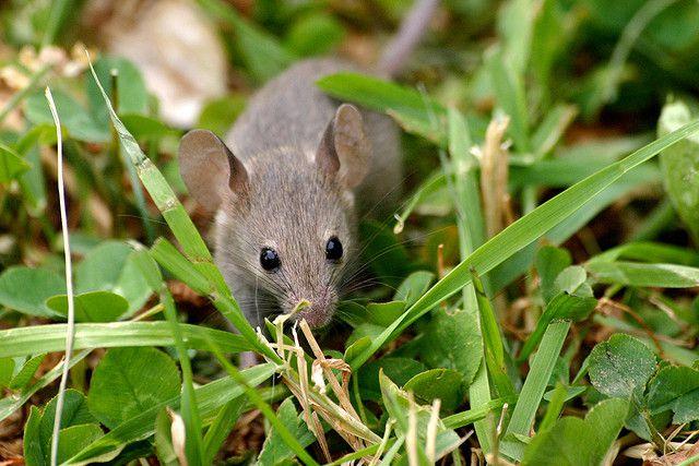 Parade nuptiale : les souris femelles chantent l'amour !