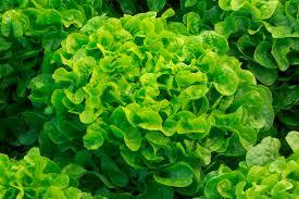 « Des salades à la sauce pesticides »