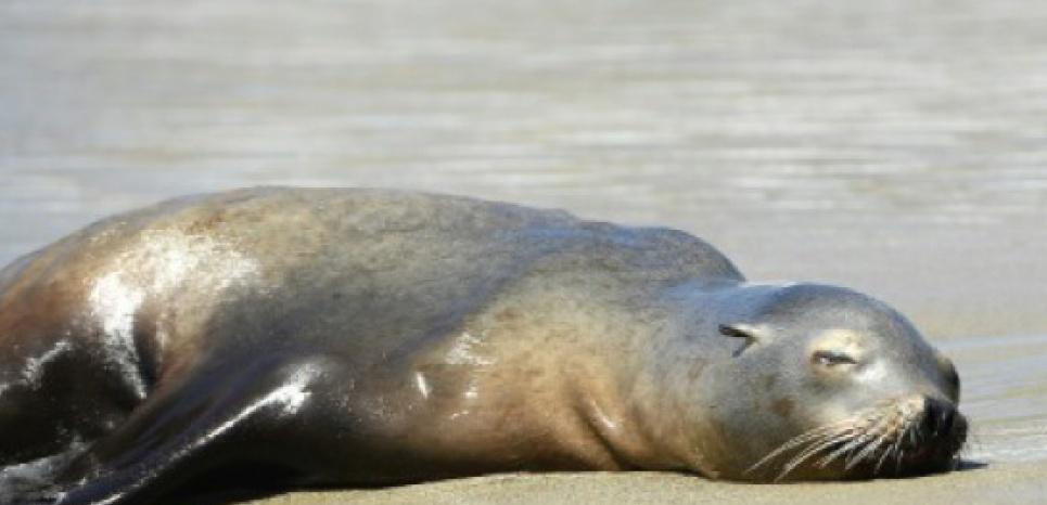 Les otaries s'échouent sur les côtes californiennes à un rythme alarmant