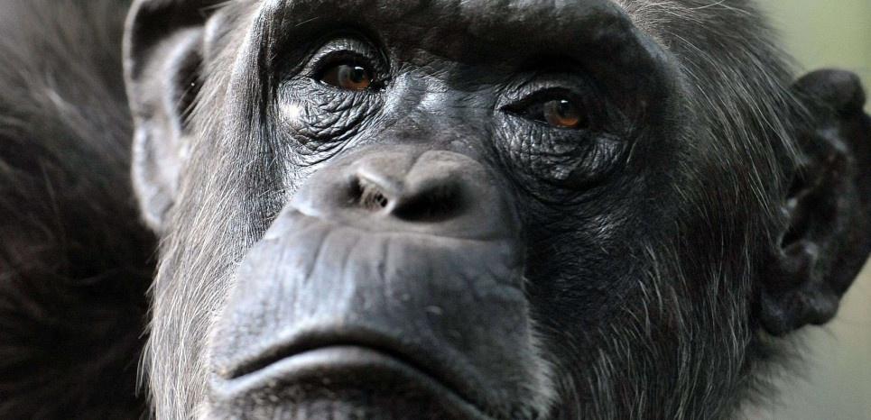 L'impressionnante dévotion d'une mère chimpanzé pour son petit, handicapé