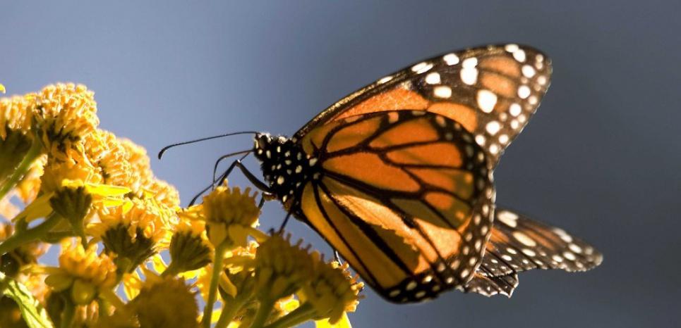 MEXIQUE. La population de papillons monarques devrait quadrupler
