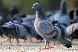 « Les pigeons démontrent une incroyable capacité à identifier des cancers»