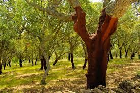 Savez-vous que les chênes liège sont un pare feu naturel ?