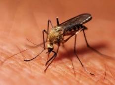 Une nouvelle forme ultra résistante de paludisme au Vietnam