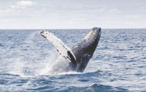 Les baleines reviennent près de New York