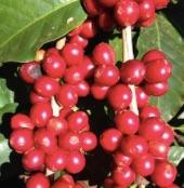 Faire de la farine au départ des cerises de café