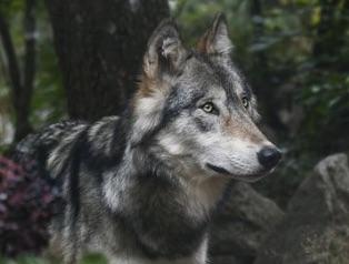 En Israel les loups n'ont plus peur des hommes