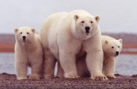 Les ours polaires se retrouvent tassés sur une île en raison de la disparition de la banquise