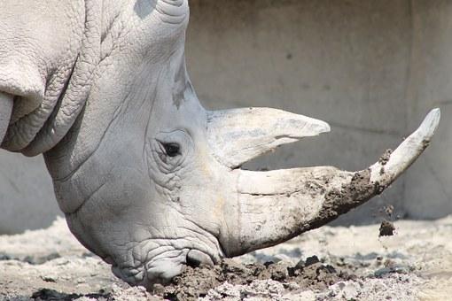 Il ne reste plus qu'un seul rhinocéros blanc