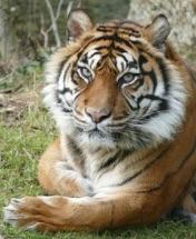 Tigres de Sumatra en voie d'extinction