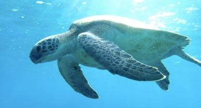 Australie, de plus en plus de tortues femelles