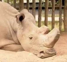 Sudan le dernier Rhinocéros blanc du nord est décédé