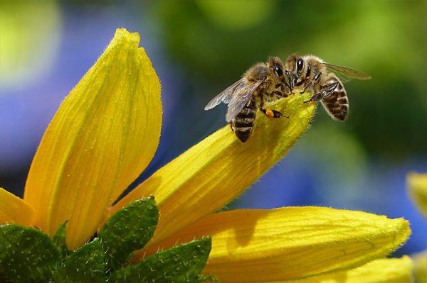 Le déclin des pollinisateurs menace la production agricole mondiale