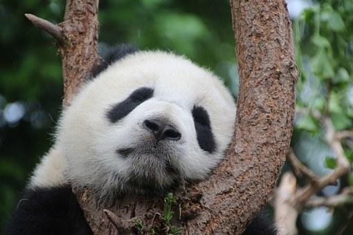 Bonne nouvelle, le Panda Géant ou l'Iguane Bleu espèces en état critique de disparition vont mieux