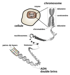 RTEmagicC_ChromosomeNIH