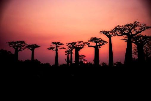 Après les animaux, ce sont les plus vieux arbres du monde qui meurent