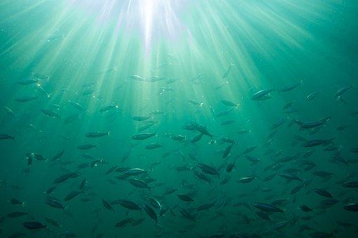 Des perturbateurs endocriniens présents dans les poissons