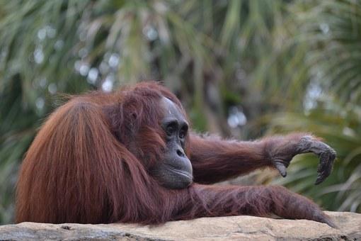 Pathétique, à Bornéo un orang-outan se bat contre un bulldozer pour sauver sa forêt