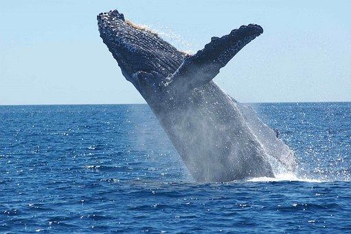 Le Japon reprend la chasse commerciale des baleines