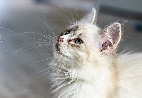 Les chats peuvent aussi donner la schizophrénie