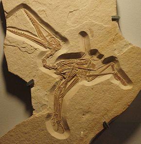 Les ptérodactyles savaient voler dès leur sortie de l'oeuf