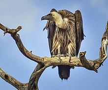 L'avidité de la Chine pour l'ivoire responsable d'un génocide écologique des vautours d'Afrique