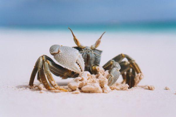 La coquille des crabes est attaquée par l'acidité des océans