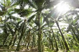 Le gouvernement favorise Total et la culture pour l'huile de palme