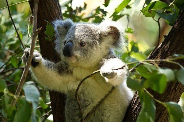Feux en Australie : 500 millions d'animaux morts