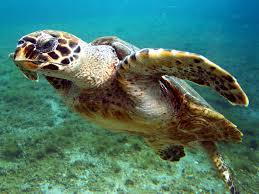 97 bébés tortues d'une espèce en voie d'extinction naissent sur des plages désertées au Brésil