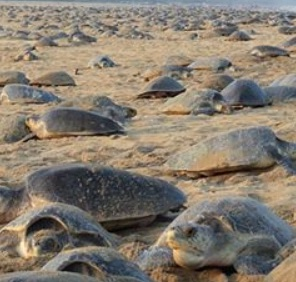 60 millions d'oeufs de tortues en voie de disparition ont été pondus sur les plages de l'Inde.